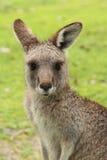 Женский кенгуру - крупный план Стоковые Изображения