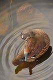 Женский конец-вверх деревянной утки Стоковая Фотография RF