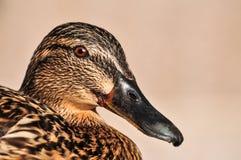 Женский конец утки кряквы вверх по портрету Стоковая Фотография RF