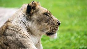 Женский конец льва вверх Стоковые Изображения