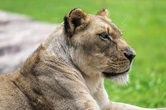 Женский конец льва вверх Стоковые Изображения RF