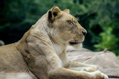 Женский конец льва вверх Стоковая Фотография RF