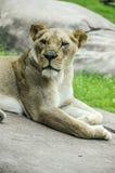 Женский конец льва вверх Стоковые Фото