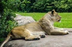 Женский конец льва вверх Стоковые Фотографии RF
