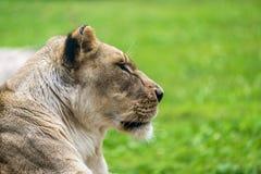 Женский конец льва вверх Стоковое Фото