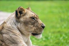 Женский конец льва вверх Стоковая Фотография