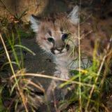 Женский котенок кугуара & x28; Concolor& x29 пумы; Проползает через траву Стоковые Изображения
