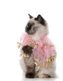 женский кот ragdoll Стоковые Изображения RF