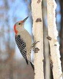 Женский красно- bellied woodpecker & x28; Carolinus& x29 Melanerpes; Стоковые Фото