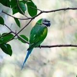 Женский красно--breasted длиннохвостый попугай Стоковая Фотография