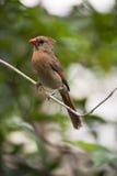 Женский красный cardinal Стоковые Изображения