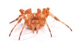 Женский крестоносец паука стоковое фото