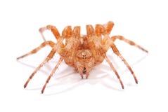 Женский крестоносец паука стоковые изображения rf