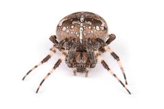 Женский крестоносец паука стоковая фотография
