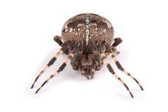 Женский крестоносец паука стоковая фотография rf