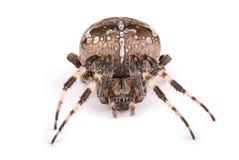 Женский крестоносец паука стоковое изображение