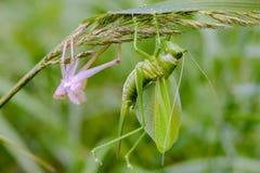 Женский кузнечик сидит на траве немедленно после перелинять Стоковая Фотография RF