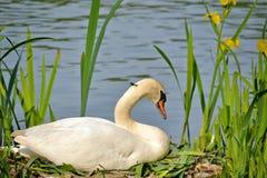 Женский лебедь сидя на своем гнезде весной Стоковое Изображение RF
