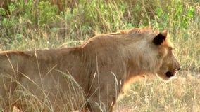 Женский лев преследуя в золотой траве сток-видео