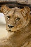 женский львев Стоковые Фото