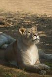 женский львев Стоковое Изображение