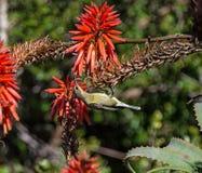 Женский малахит Sunbird Стоковая Фотография RF