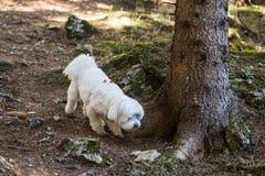 Женский мальтийский щенок идя в лес стоковое фото