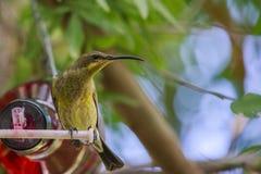 Женский малахит Sunbird Стоковые Фото
