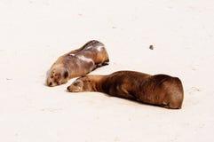 Женский морской лев с щенком на пляже в Галапагос Стоковые Фото
