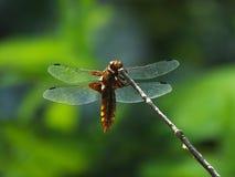 Женский обширн-уплотненный истребитель Стоковое Изображение