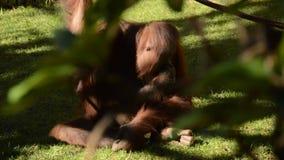 Женский орангутан смотря к камере акции видеоматериалы