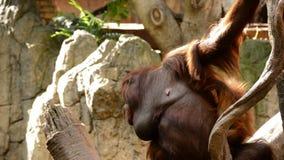 Женский орангутан с ее младенцем - pygmaeus Pongo сток-видео