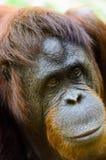 Женский орангутан стоковое фото rf