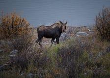 Женский лось пасет Стоковая Фотография