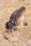 Женский павиан gelada нося своих детенышей Стоковые Изображения