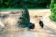 Женский павлин наблюдает, как мужской павлин раскрывает свой кабель Стоковые Изображения RF