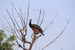 Женский павлин на дереве Стоковые Изображения RF