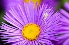 Женский паук белых охот цвета Стоковые Изображения RF