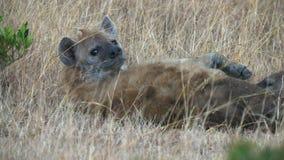 Женский питаться гиены молодой в masai mara, Кении сток-видео
