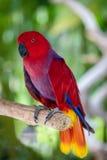 Женский попугай Eclectus на завтрак-обеде дерева Стоковые Фотографии RF
