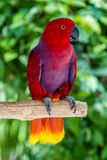 Женский попугай Eclectus на завтрак-обеде дерева Стоковое Изображение RF