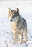 Женский портрет волка тимберса Стоковое Фото