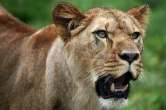 женский портрет льва Стоковое Фото