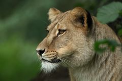 женский портрет льва Стоковая Фотография