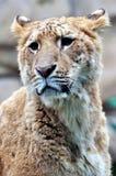 женский портрет льва Стоковые Изображения