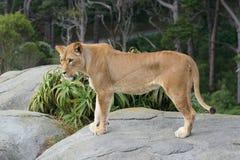 женский портрет льва Стоковые Изображения RF