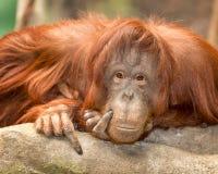 Женский портрет орангутана Стоковые Фото