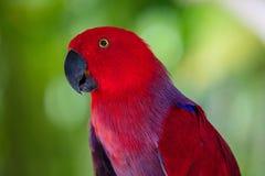 Женский портрет попугая Eclectus Стоковая Фотография RF