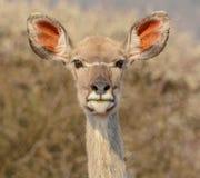 Женский портрет Kudu Стоковое Изображение RF