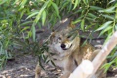 Женский приполюсный волк спасенный от ловушки, навсегда выведенной ламе Стоковое Фото